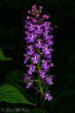 Small Purple Fringed Orchid: Platanthera psycodes