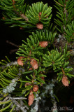 Red Spruce: Picea rubens, spent male strobili
