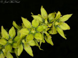 Cornhusk Lily: Veratrum viride