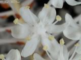 Fly Poison: Amianthium muscitoxicum