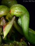 Cobra Lily: Darlingtonia californica, young pitcher