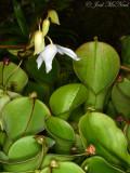 Heliamphora minor, a S. American Pitcherplant: Atlanta Botanical Garden