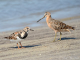 Ruddy Turnstone & Short-billed Dowitcher: St. Catherine's Island- Liberty Co., GA