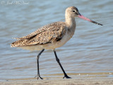 Marbled Godwit: St. Catherine's Island- Liberty Co., GA