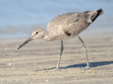 Willet (Western): St. Catherine's Island- Liberty Co., GA