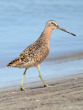 Short-billed Dowitcher: St. Catherine's Island- Liberty Co., GA