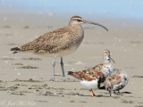 Whimbrel, Ruddy Turnstone, & Dunlins: St. Catherine's Island- Liberty Co., GA