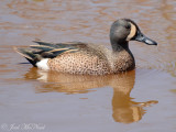 Blue-winged Teal: Anas discors, Altamaha Waterfowl Management Area- McIntosh Co., GA