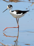Black-necked Stilt: Altamaha Waterfowl Management Area- McIntosh Co., GA