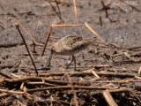 Long-billed Dowitcher: Altamaha Waterfowl Management Area- McIntosh Co., GA