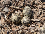 Killdeer nest: Altamaha Waterfowl Management Area- McIntosh Co., GA
