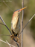 Least Bittern: Altamaha Waterfowl Management Area- McIntosh Co., GA (twig photoshopped out)