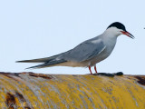 Common Tern: GA offshore waters