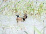 Blue-winged Teal: Anas discors, Altamaha Waterfowl Management Area