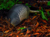 Armadillo: Harris Neck NWR