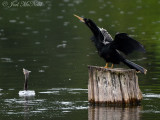 Anhinga display: Harris Neck NWR