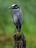 Yellow-crowned Night-Heron: Harris Neck NWR