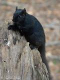 melanistic Gray Squirrel: Crawford Co., MI