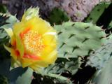 Eastern Prickly Pear: Opuntia humifusa