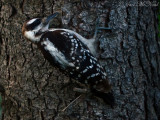 juvenile Hairy Woodpecker: Elyria, OH