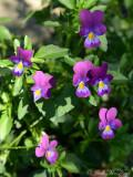 Johnny Jump-ups: Viola tricolor