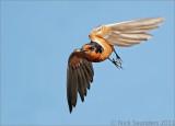 Swallows, Larks & Buntings