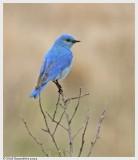 Thrushes, Pipits & Bluebirds
