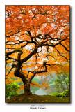 Autumn Maple (vertical)