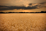 Wheat Field in Racine County