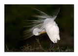 Great Egret - High Island