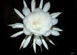 Phyllocactus