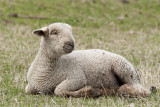 Southdown lamb.jpg