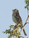 Field sparrow.jpg