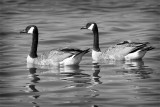 BW geese.jpg