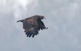 aquila_anatraia_maggiore_spotted_eagle