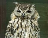 Turkmenian Eagle Owl .jpg