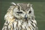 Turkmenian Eagle Owl.jpg