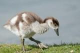 D3_821 Egyptian Goose gosling.jpg