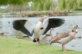 D3_833 Adult Egyptian Goose.jpg