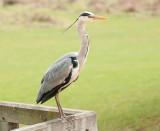 D3_875 Grey Heron.jpg