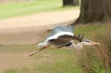 D3_876 Grey Heron in flight.jpg