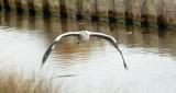 D3_870 Grey Heron in flight.jpg