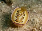 Chromodoris coi2.JPG