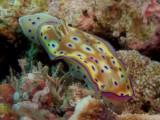 Chromodoris kuniei1.JPG
