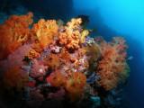 Zachte koralen1.JPG