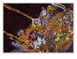 *Lichen Galaxy*