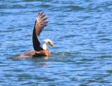 Eagle Holding Mallard Under Water