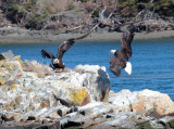 Eagles Touch Down On Rock Pile With Mallard