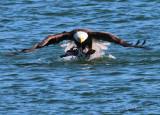Eagle Getting Mallard Above Water