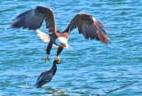 Eagle Holding Mallard Flying To Nearest Point